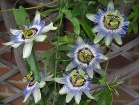 Passiflora - https://donna.nanopress.it