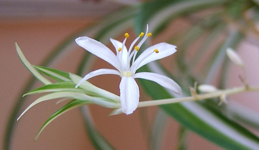 Primo piano di fiore di Falangio