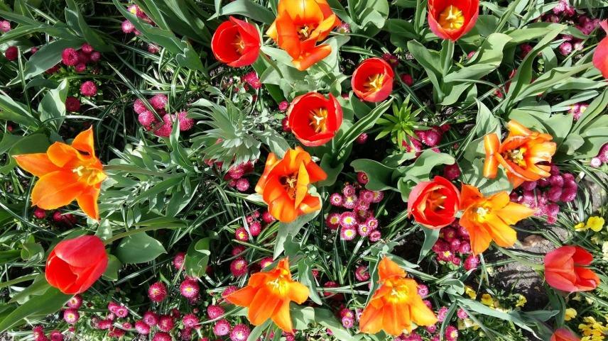 Particolare dell'isola: tulipani