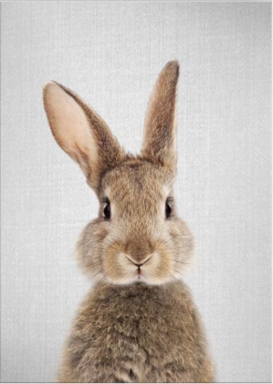 Coniglio fronte a colori